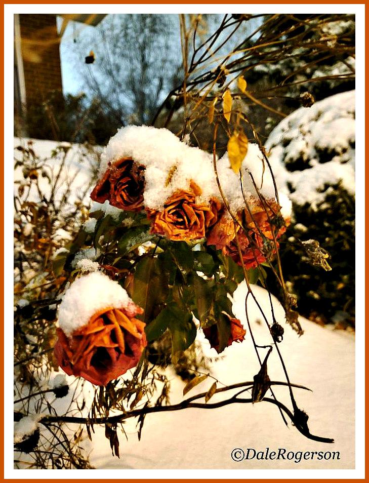 last-rose-dale. (1)